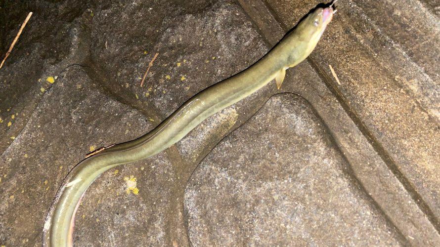 涸沼のウナギは釣れるのか?実際に釣ってから食べるまでをレポート!