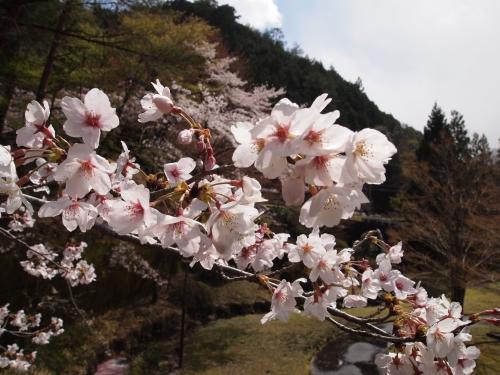 関西の花見スポット!花見ドライブ!桜の公園でピクニック!桜まつり情報!