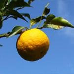 【花粉症対策】熊野の果物「幻の果実 じゃばら」がすごい!