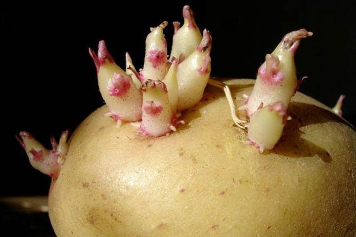 Проращиваем картофель