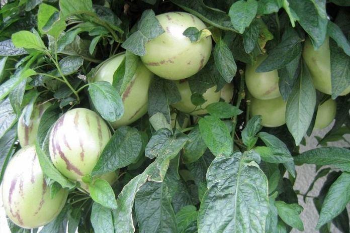 Пепино или дынная груша