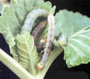 капустная совка