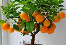 Как вырастить апельсин дома