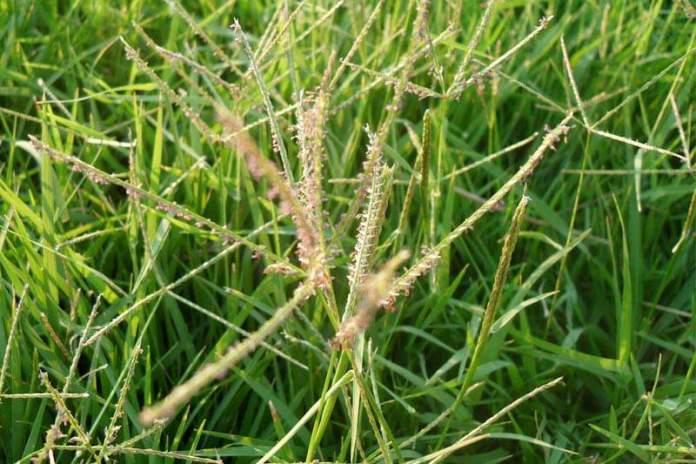 Свинорой или бермудская трава