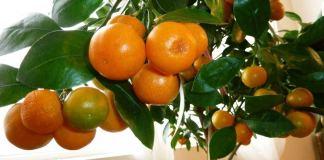 мандарины дома