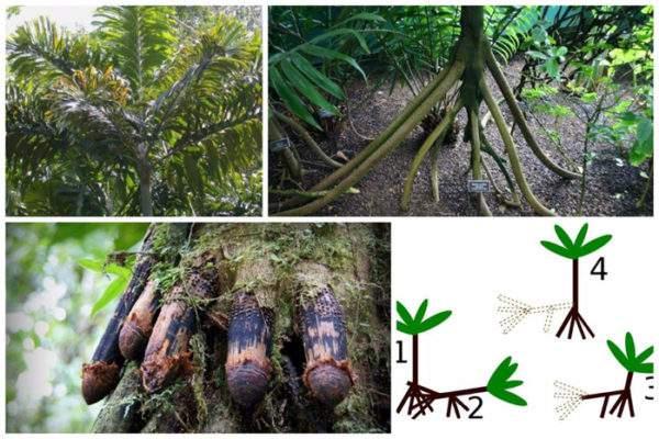 ходячие эквадорские пальмы