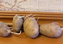Почему у картофеля тонкие ростки
