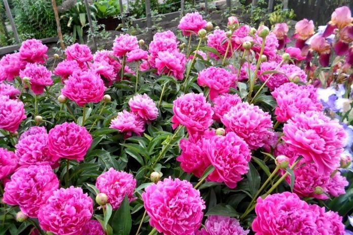 Секреты пышного цветения пионов