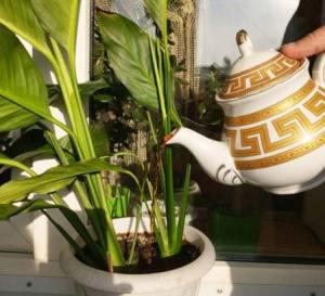 Как приготовить удобрение для комнатных растений из луковой шелухи
