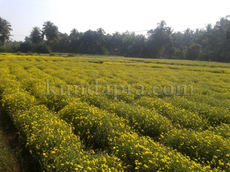 Hemmady Sevanthi Flower - A Famous Flower crop in Kundapura taluk Hemmady.  (10)