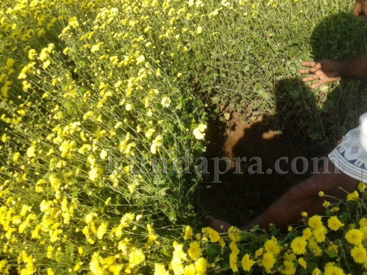 Hemmady Sevanthi Flower - A Famous Flower crop in Kundapura taluk Hemmady.  (11)