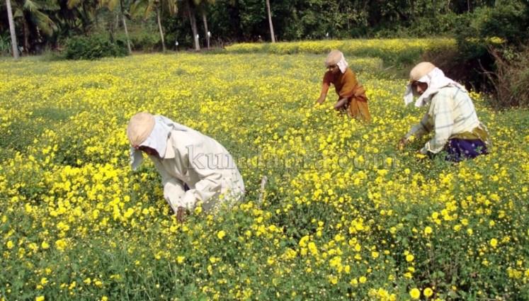 Hemmady Sevanthi Flower - A Famous Flower crop in Kundapura taluk Hemmady.  (2)