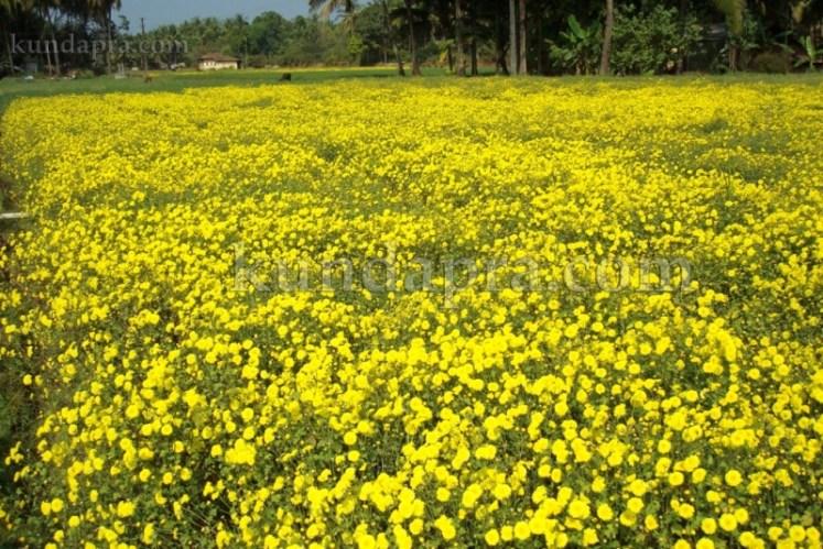 Hemmady Sevanthi Flower - A Famous Flower crop in Kundapura taluk Hemmady.  (3)
