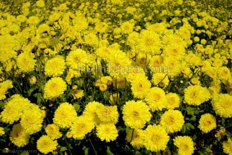 Hemmady Sevanthi Flower - A Famous Flower crop in Kundapura taluk Hemmady.  (4)