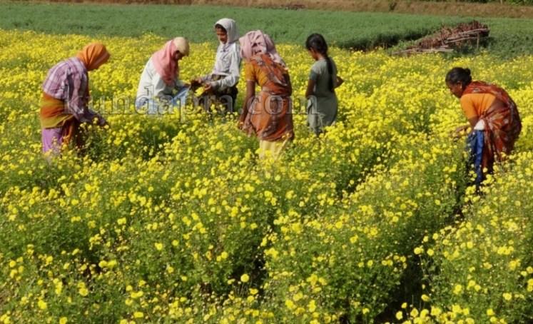 Hemmady Sevanthi Flower - A Famous Flower crop in Kundapura taluk Hemmady.  (6)
