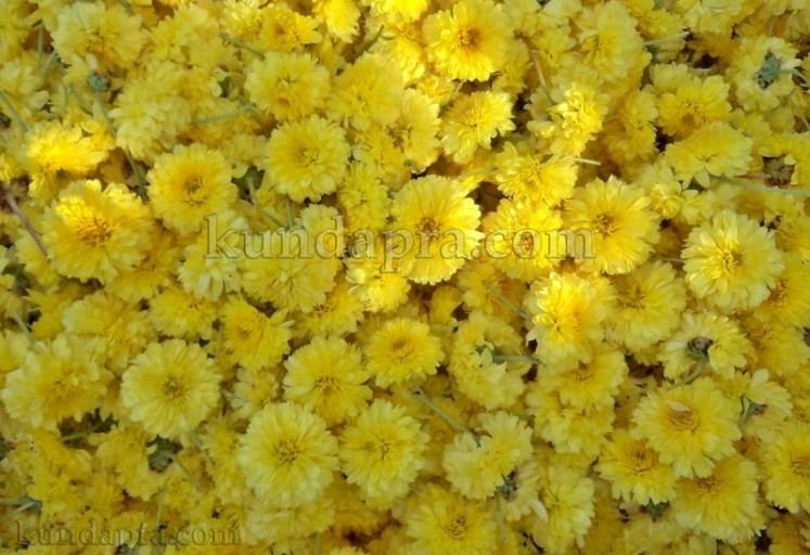 Hemmady Sevanthi Flower - A Famous Flower crop in Kundapura taluk Hemmady.  (7)