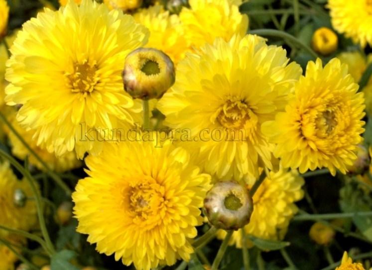 Hemmady Sevanthi Flower - A Famous Flower crop in Kundapura taluk Hemmady.  (8)