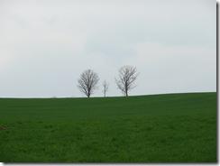 美瑛 親子の木