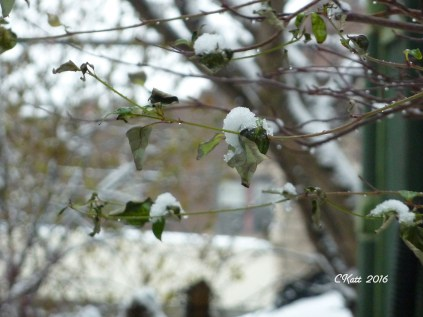 snow-on-branches-dec-4-2016