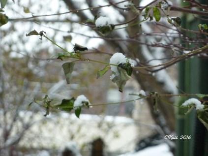 snow-on-branches-dec-4-2016