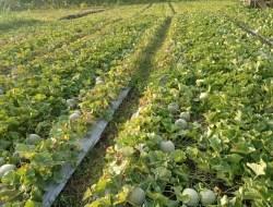Bertani Buah Melon Dan Semangka Di Gunungkidul Yang Sangat Menjanjikan