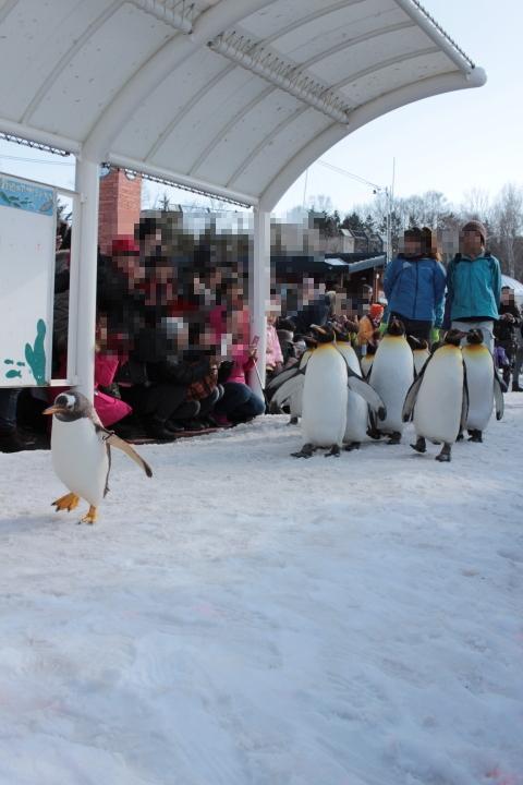 旭山動物園ペンギンの散歩