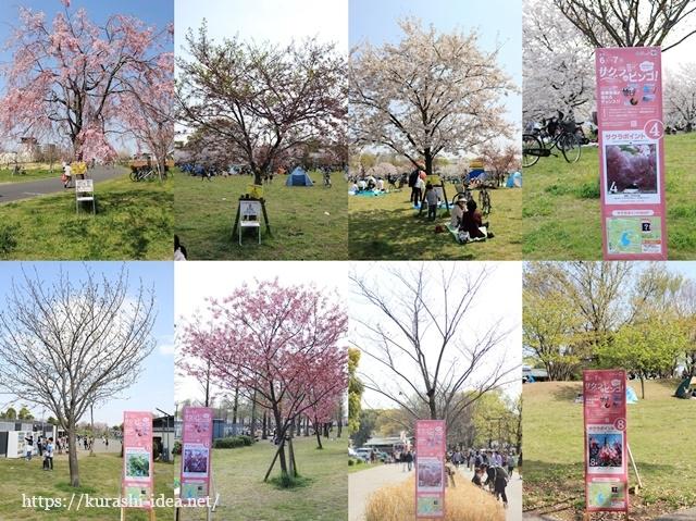舎人公園いろいろな種類の桜