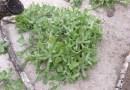 ʻEnaʻena (Pseudognaphalium sandwicensium var. sandwicensium)