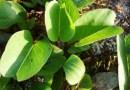 Pohuehue (Ipomoea pes-caprae)