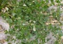 ʻAlena (Boerhavia repens)