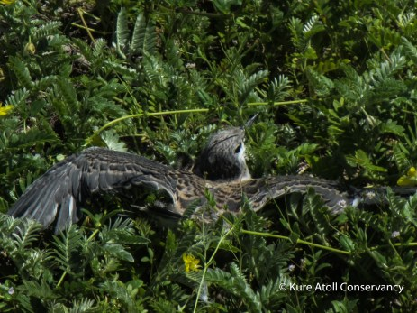 Juvenile Gray-back Tern