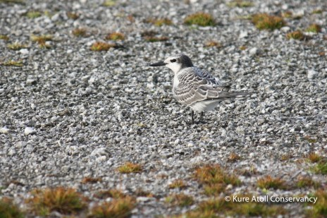 Juvenile Gray-backed Tern