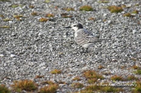 Juvenile Gray-backed Tern