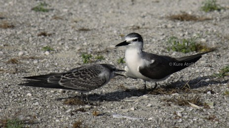 Fledgling and Parent Gray-backed Tern