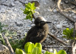 Mostly-feathered Sooty Tern Chick
