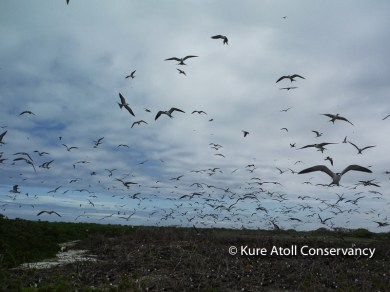 Sooty Tern Colony