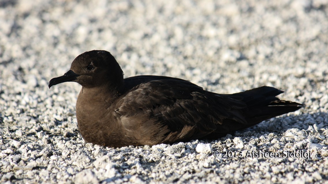 Adult Christmas Shearwater