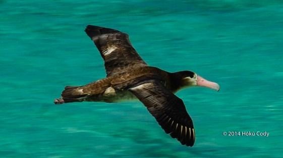 Juvenile Short-Tailed Albatross (Kaʻupuakea) Flying