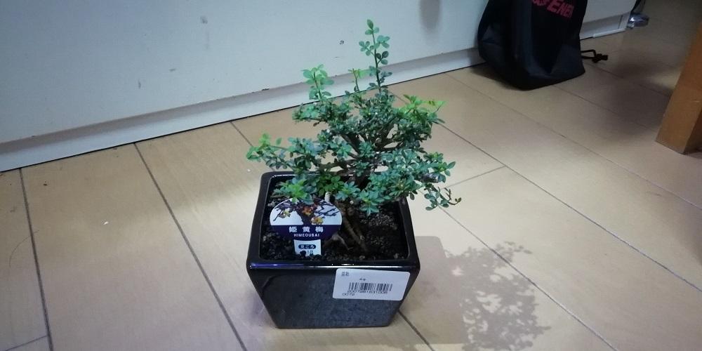 姫黄梅 ミニ盆栽 テラリウム アクアテラリウム