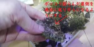 山苔 ヤマゴケ シッポゴケ コツボゴケ  密閉 密封 サランラップ ボトル