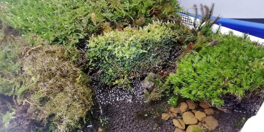 苔ストック水槽のコツボゴケ