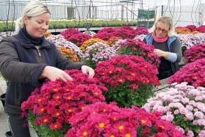 Na jesienne kwiatowe dekoracje grobów najpopularniejsze są chryzantemy<br/>Fot. Marian Paluszkiewicz