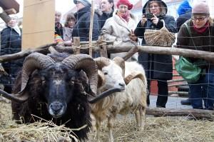 Ciekawiły mieszkańców też zagrody, w których można było zobaczyć ptactwo domowe i zwierzęta, takie jak barany czy owce Fot. Marian Paluszkiewicz