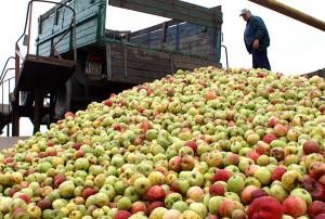 Zwiastunem rosyjskiego embarga na zachodnią żywność był wprowadzony przed kilkoma tygodniami zakaz na import do Rosji polskich jabłek      Fot. Marian Paluszkiewicz