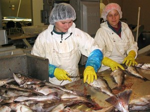 W Norwegii najwięcej miejsc pracy jest w zakładach przetworów rybnych Fot. archiwum