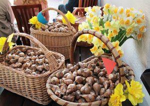 Przy czterech znakach granicznych Wilna zasadzono 1 000 cebulek żonkili Fot. Marian Paluszkiewicz