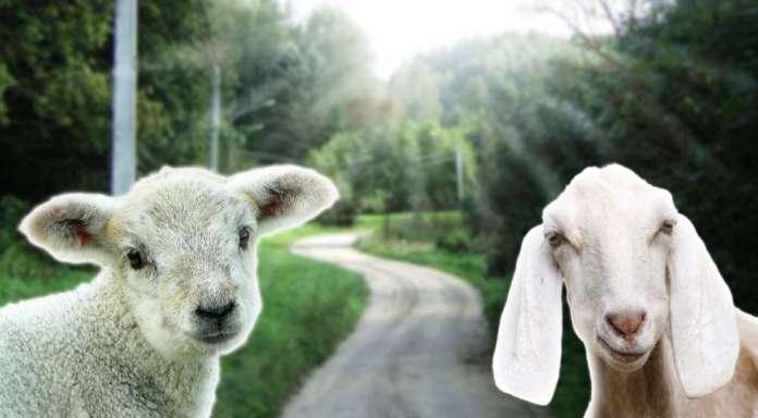 W Wilnie po Rybiszkach będą spacerowały owce i kozy