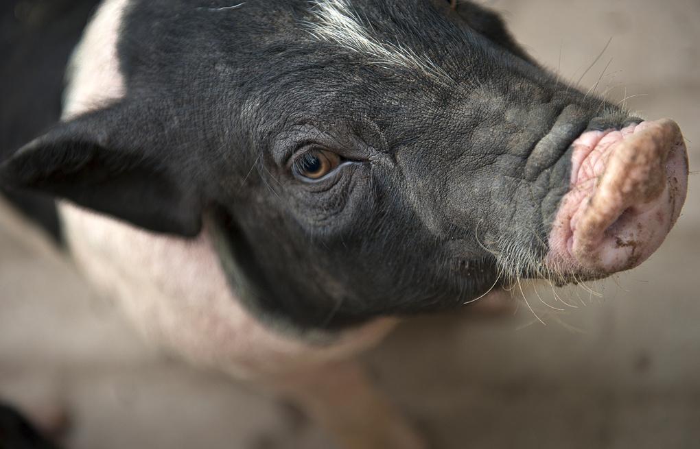 Варёная свинина из КНР отпразднует наступление года Свиньи на родине