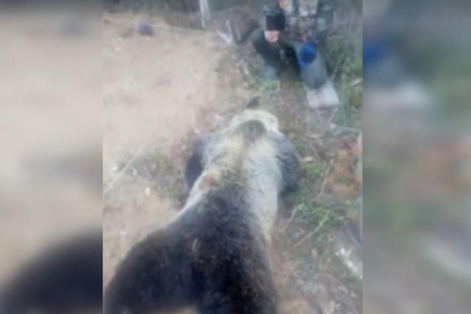 Медведя, который одновременно «появился» на кладбищах в нескольких городах Сибири,  ДФО и даже якобы у нас в ЕАО, похоже убили охотники (ВИДЕО)
