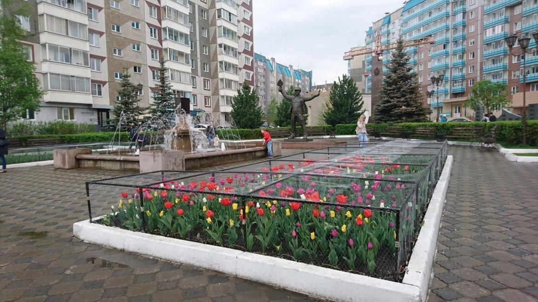 Зона тюльпанов: в Красноярске клумбу с тюлпанами защитили сеткой